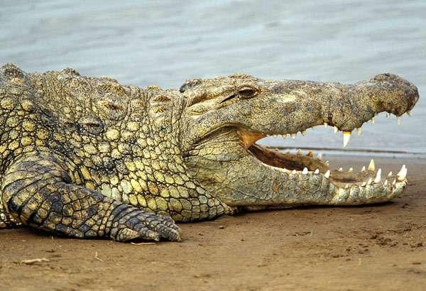 Нильский крокодил (Crocodylus niloticus), фото пресмыкающиеся фотография