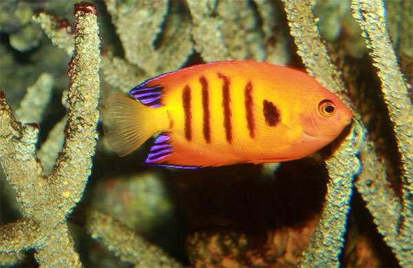 Королевский центропиг (Centropyge loricula), фото морские рыбы фотография картинка