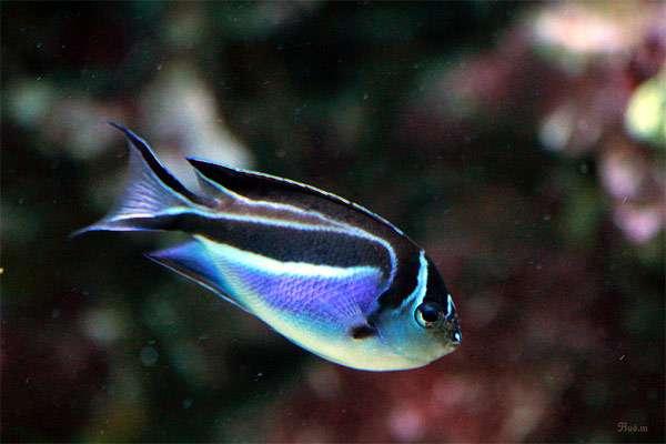 Ангел лирохвостый украшенный (Genicanthus bellus), фото рыбы фотография картинка