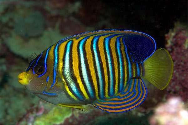 Королевская рыба-ангел (Pygoplites diacanthus), фото аквариумные рыбы фотография