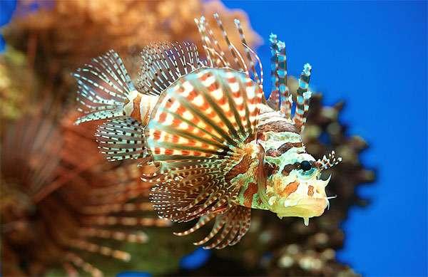 Лучистая крылатка (Pterois antennata), фото морские рыбы фотография изображение