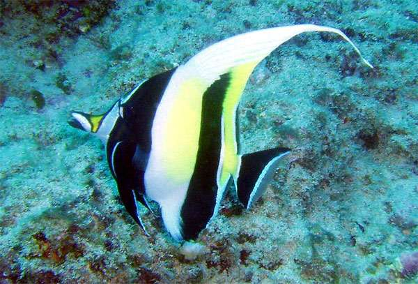 Мавританский идол (Zanclus cornutus), фото рыбы для рифового аквариума картинка