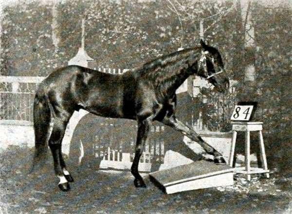 Жеребец Умный Ганс, фото фотография
