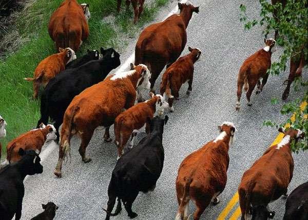 Стадо коров, фото парнокопытные животные фотография