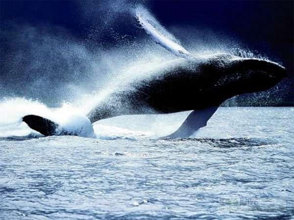 Горбатый кит, горбач, фото морские животные фотография картинка