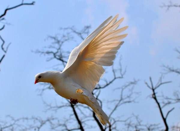 Белый голубь в полете, фото птицы фотография картинка