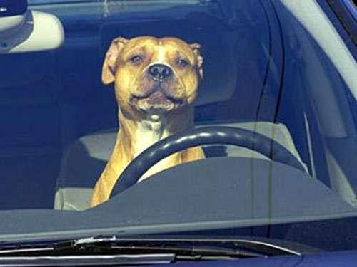 Американский стаффордширский терьер за рулем автомобиля, фото новости о собаках фотография