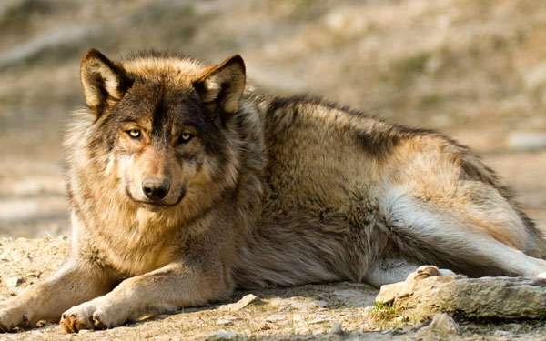 Волк (Canis lupus), фото новости о хищниках фотография