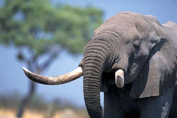 Африканский слон (Loxodonta), фото животные фотография