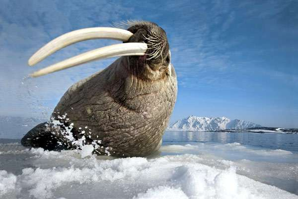 Морж (Odobenus rosmarus), фото морские млекопитающие фотография