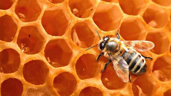 Медоносная пчела на сотах, фото насекомые фотография