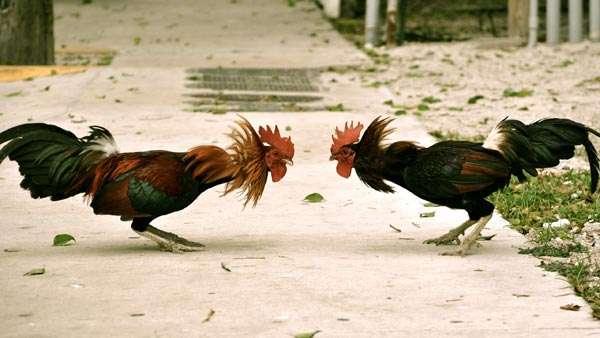 Дерущиеся петухи, фото консультации по домашней птице фотография
