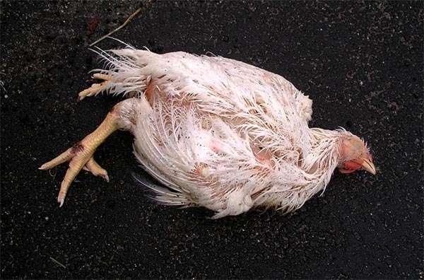Мертвая курица, фото консультации по домашней птице фотография картинка