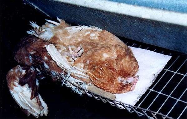 Мертвая курица-несушка, фото консультации по домашней птице фотография