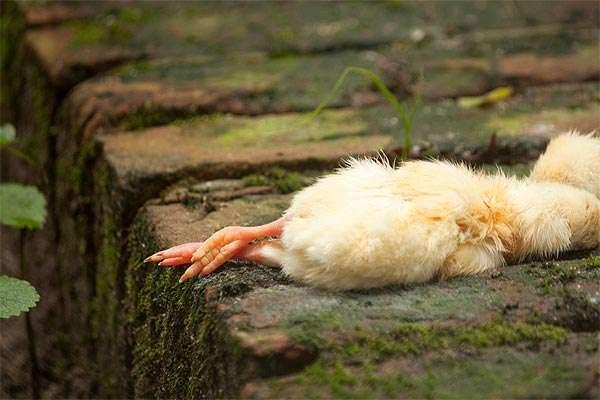 Мертвый цыпленок, фото консультации по домашней птице фотография