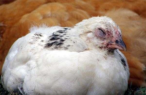 Спящий цыпленок курица, фото консультации по домашней птице фотография