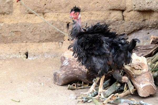 Больная черная курица, фото консультации по домашней птице фотография