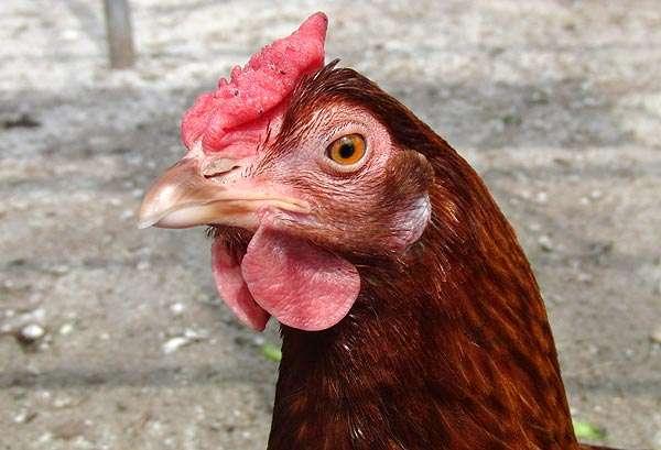 Голова курицы, фото консультации по домашней птице фотография
