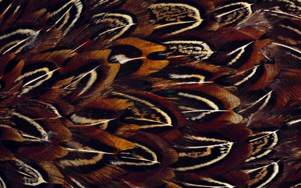 Птичьи перья, фото консультации по домашней птице фотография