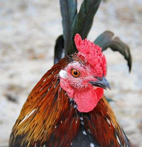 Петух, фото консультации по домашней птице фотография