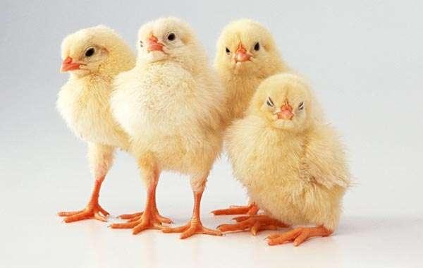Цыплята, фото консультации по домашней птице фотография
