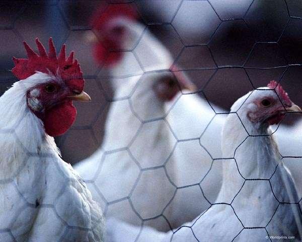 Дмашние куры за сеткой, фото консультации по домашней птице фотография