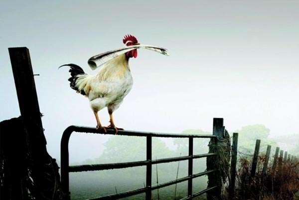 Кукарекающий петух на завалинке, фото консультации по домашней птице фотография