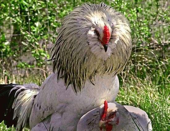 Петух клюет курицу, фото консультации по домашней птице фотография