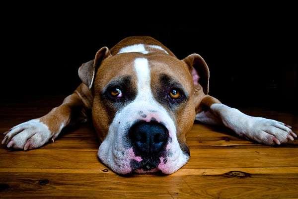Американский стаффорд, фото здоровье животных фотография