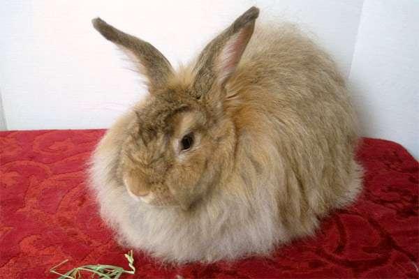 Ангорский кролик, фото содержание кроликов фотография
