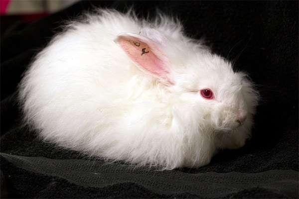 Ангорский кролик, французская ангора, фото содержание кроликов фотография