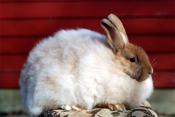 Ангорский кролик, фото картинка изображение