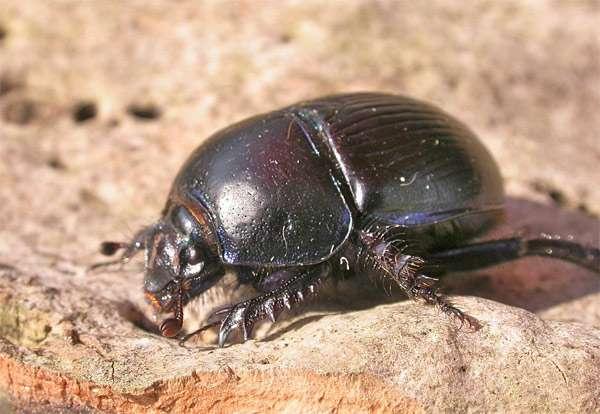 Жук-навозник (Geotrupes stercorarius), фото жесткокрылые насекомые фотография