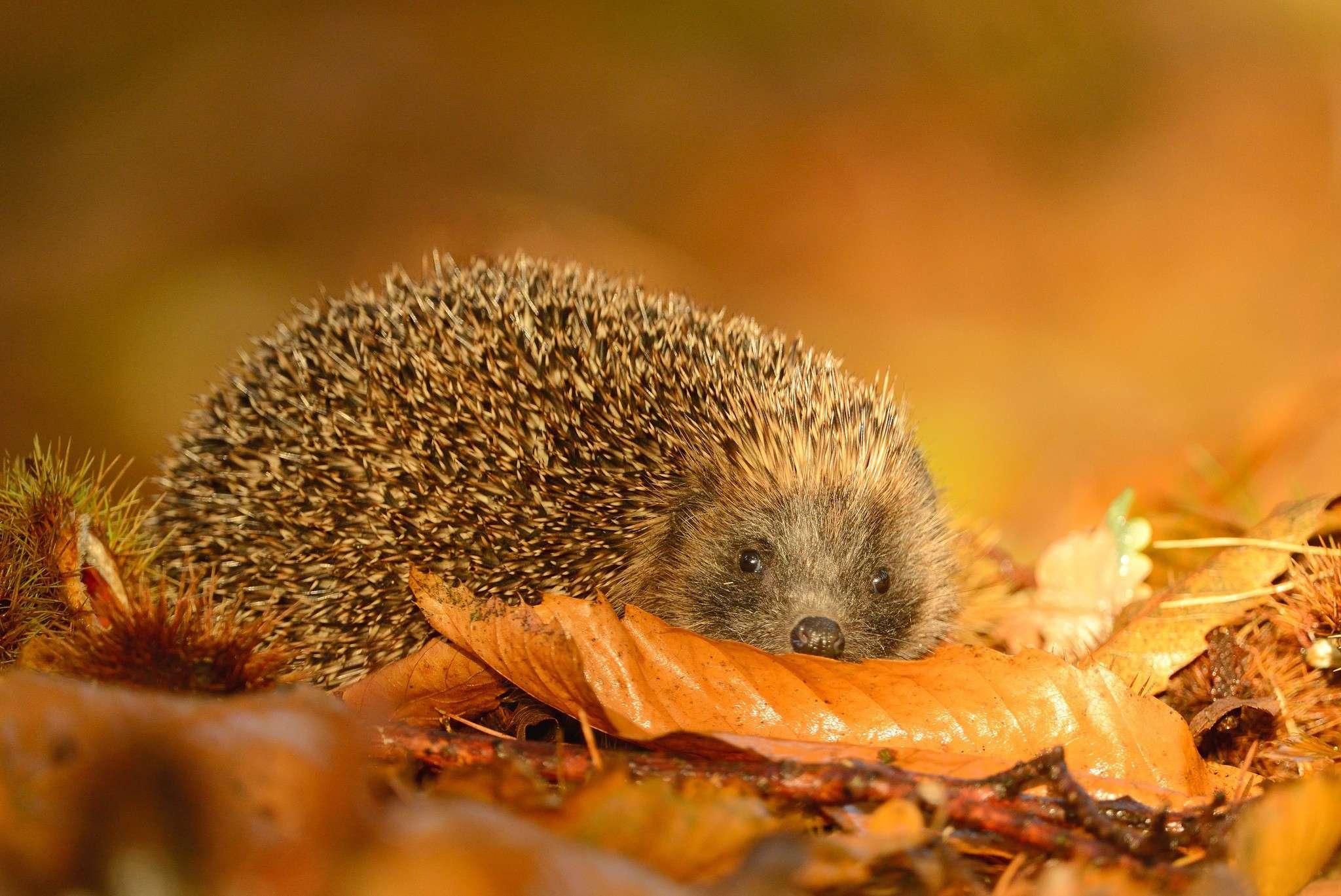 Лесной еж прячется в осенних листьях, фото насекомоядные животные фотография