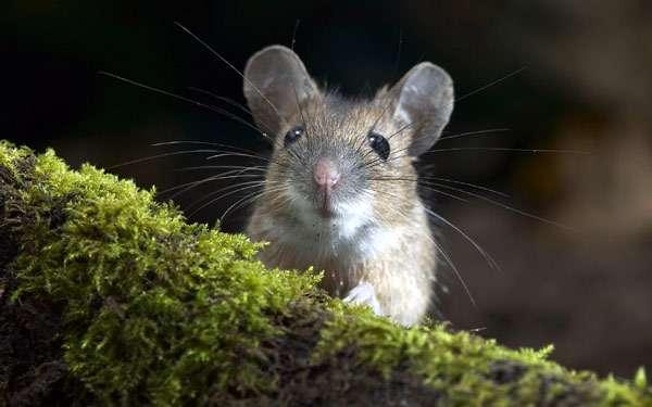 Мышь, фото новости о грызунах фотография