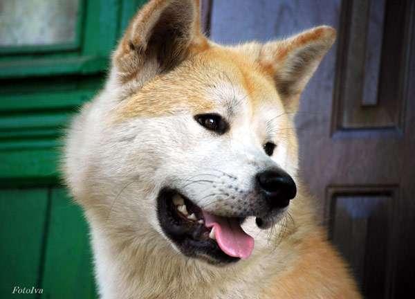 Японская акита-ину, фото породы собаки фотография картинка