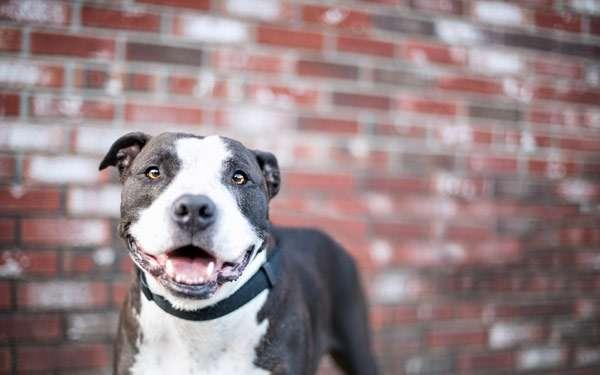 Стаффорд, стаффордширский терьер, фото породы собаки картинка