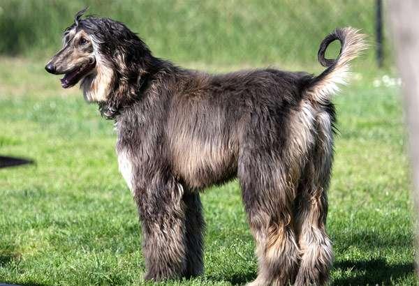 Щенок афганской борзой, фото породы собаки фотография картинка