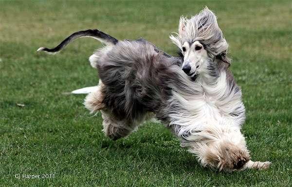 Афганская борзая, фото породы собаки фотография