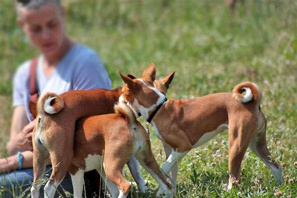 Играющие щенки басенджи, фото породы собаки фотография