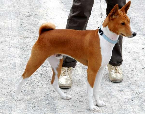 фото собак басенджи