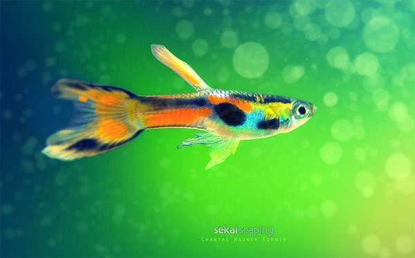 Гуппи Эндлера, или карликовый гуппи (Poecilia wingei), фото аквариумные мини рыбки фотография