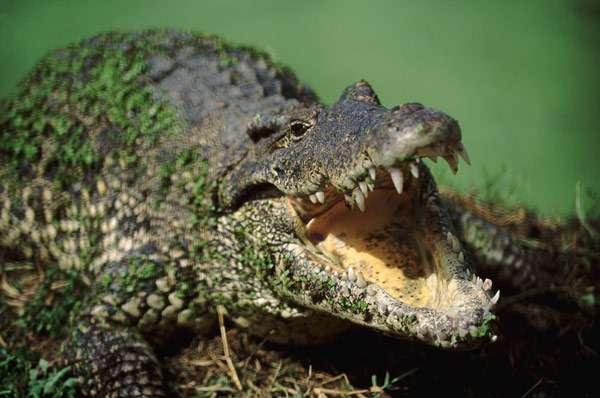 Крокодил с раскрытой пастью, фото о рептилиях фотография