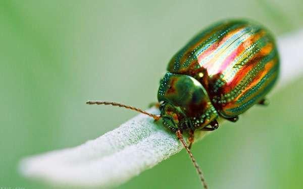 Красивый жук, фото насекомые фотография картинка