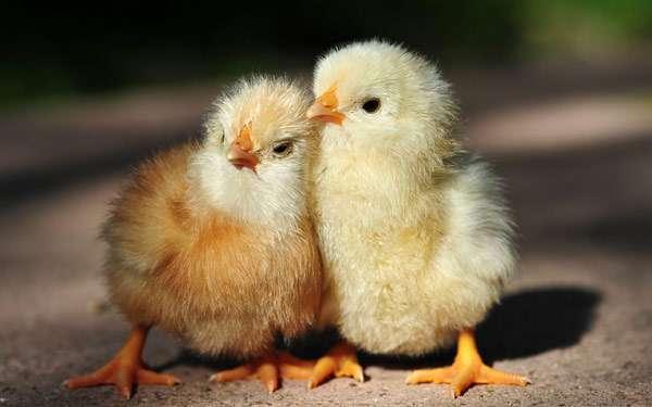 Цыплята домашней курицы, фото птицы фотография