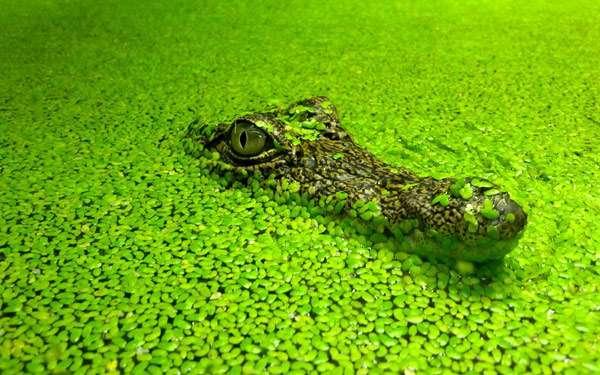 Крокодил в ряске, фото рептилии фотография картинка