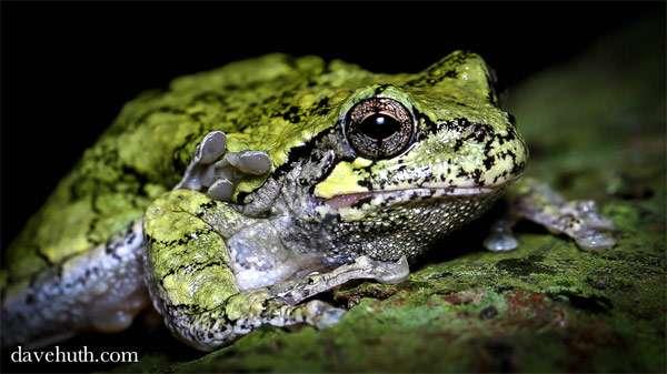 Изменчивая квакша (Hyla versicolor), фото амфибии лягушки фотография