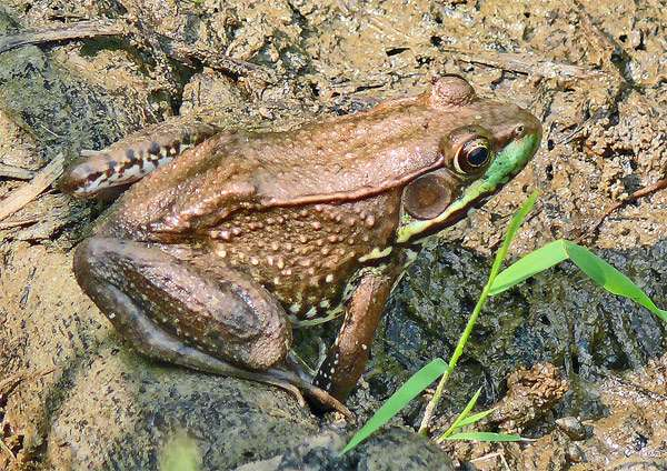 Крикливая лягушка (Rana clamitans), фото амфибии фотография