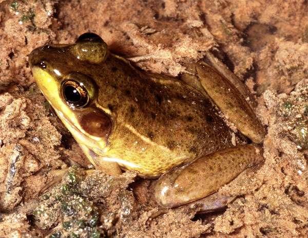 Флоридская болотная лягушка (Rana okaloosae), фото бесхвостые амфибии фотография