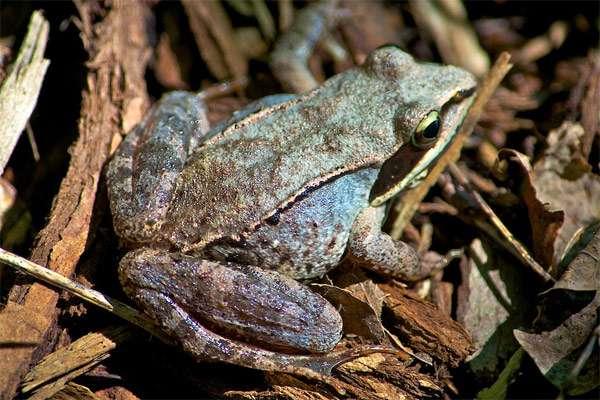 Лесная лягушка (Rana sylvatica), фото бесхвостые земноводные фотография